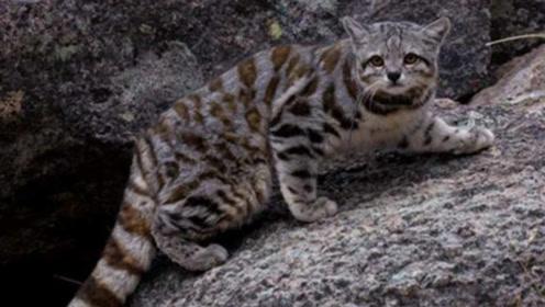 它被认为是世界上最漂亮的猫,却被人类当作祭品,如今已经濒危