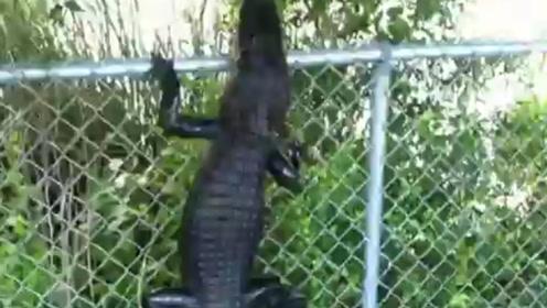 男子路上发现一只鳄鱼,好奇的追了上去,鳄鱼的举动出人意料