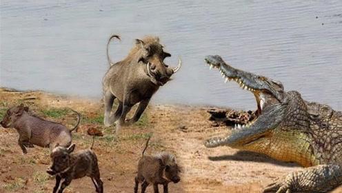 鳄鱼突袭野猪,结果被疯狂践踏,镜头拍下搞笑全程