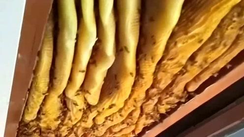 家中天花板有异响,竟取出大量蜂蜜,笑得合不拢嘴