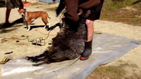 剃羊毛大师,三分钟剃干净一只羊 ,羊还没反应过来就被剃光了