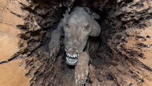 """伐木工人砍树,树洞中惊现一只""""木乃伊""""狗,吓得赶紧报警!"""