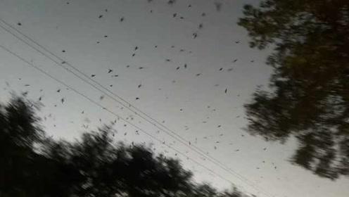 黑压压一片!街头惊现上万只燕子密集狂飞