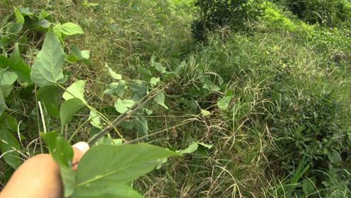 农民很讨厌这种植物,伏地生根长势迅猛,大家有好的控制方法吗?