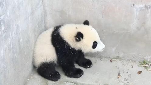 熊猫宝宝躲在墙角生闷气,饲养员好心安慰反被打,不愧是国宝
