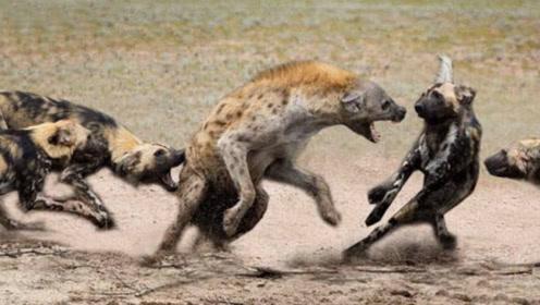 怀孕母鬣狗落单,被一群野狗弟弟掏肛了,全程尿点生不如死!