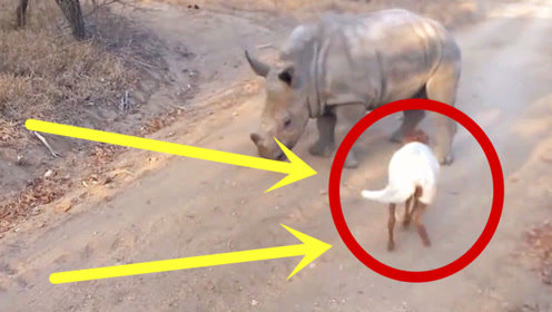 小羊蹦蹦跳跳走,犀牛竟也跟着一起学,这学习能力我给100分!
