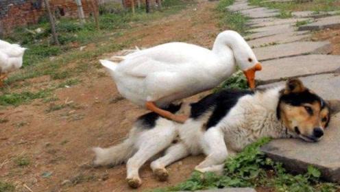 大白鹅欺负小狗,二狗路见不平去拉架,本以为是王者,结果被胖揍