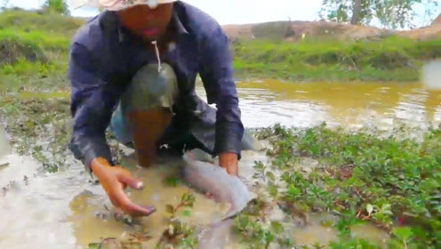 农村男子野外水坑抓鱼,抓到了一条大鲶鱼,太高兴了