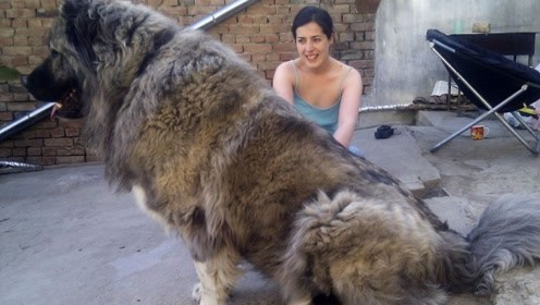"""世界上最""""凶猛""""的狗,体重可达300斤,连藏獒都打不过它"""