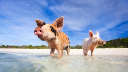 世界上猪最多的小岛:生活自在没有天敌,还有人专门保护!