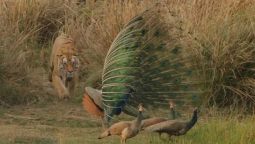 作死孔雀在山林大叫,结果将睡觉的老虎吵醒,下一秒意外发生了