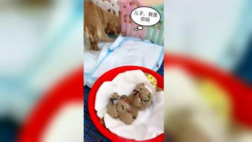 主人要给小狗换尿片,狗妈妈急忙把它叼回狗窝里