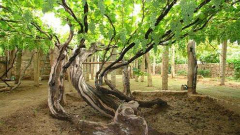 """最""""长寿""""的葡萄树,吃它的果实也能长寿?200年的珍稀葡萄"""