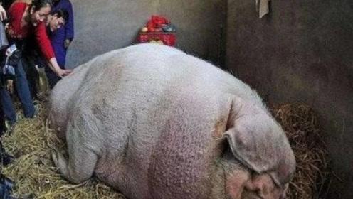 养一只猪如果一辈子不杀,最终能养到多少斤?说出来你可能都不信