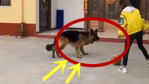 """这狗子怕是要""""成精"""",预判能力超强,动物界的""""梅西""""!"""