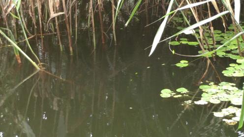 用七星漂钓水深50公分的草边,看看鱼口如何