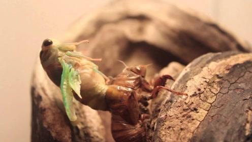 """最""""可怜""""的昆虫,等待十几年才能破土而出,最后还会被天敌吃"""