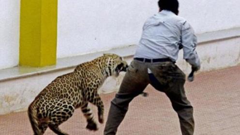 豹子突然闯入学校,吓得众人四处逃窜,所幸仅一人受伤