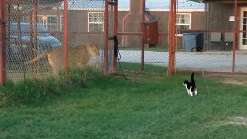 猫咪常被狗子欺负,自从动物园看了一眼狮子,回来后气场大变