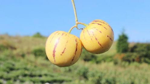 中秋节多吃这3种水果,可以帮助你止咳润肺!