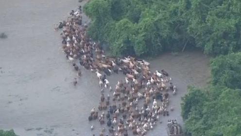 农场遭受洪水冲击,几百头牛深陷其中,还好狗狗及时出现
