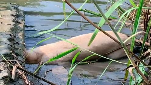 农村人养的狗子太厉害了,竟然还会下水捕鱼,成精了!