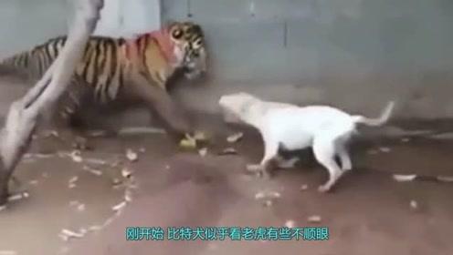比特犬竟敢攻击老虎,而且还越战越猛,下一秒老虎生气了!