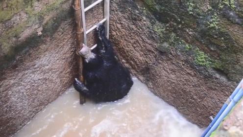黑熊不慎落入深井,村民往井内扔了一架梯子,接下来请憋住别笑