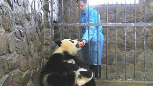 """饲养员为了""""骗走""""幼崽,用个苹果就贿赂了熊猫妈妈:可长点心吧"""
