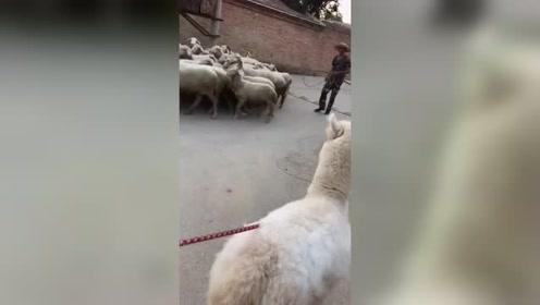 当羊驼遇到羊,眼前一幕让人哭笑不得