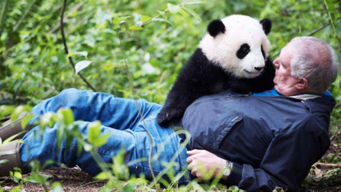 """中国大熊猫在英国遭""""电击"""",熊猫边走边打颤,游客目睹全过程"""