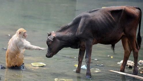 公牛跟猴子抢吃的,猴子抬手就是一巴掌,牛:我太难了