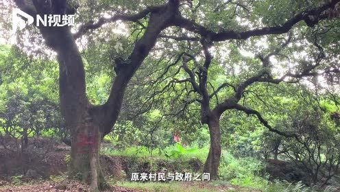 """广州一村庄百年""""古树名木""""疑被标记估价,村民担心征地毁树"""