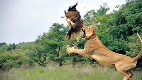 狮子袭击老鹰,两者撕咬到一起,狮子:落地你就是个弟弟