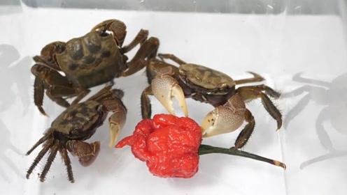 主人喂螃蟹吃辣椒,下一秒发生意外,镜头记录全过程