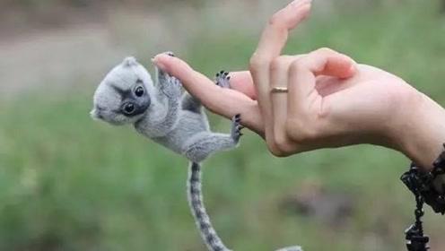 萌化你的心!世界上最小的猴子,只有手指大小
