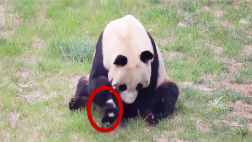 鸟儿偷啄熊猫的毛被捉住,接下来请憋住别笑,镜头记录全过程