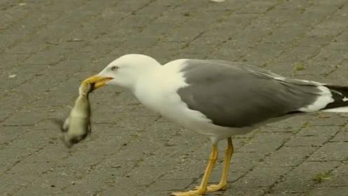 小鸭子被海鸥生吞,鸭妈妈目睹全程,下一秒把海鸥按水里活活淹死
