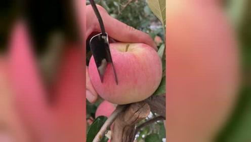 猜一下这是什么品种的苹果呢?