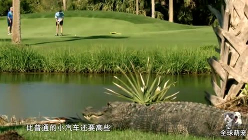 动物园出现超大鳄鱼,行走时像一辆小汽车,网友:该减肥了!