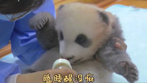 """熊猫赖床不肯起,饲养员立马使出""""绝招"""",拿出牛奶国宝秒醒"""
