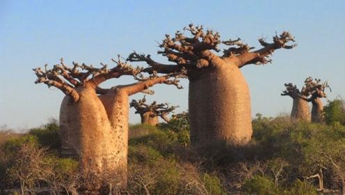 """这树能长出""""面包"""",种10棵就能养活下一代!看完你敢信"""