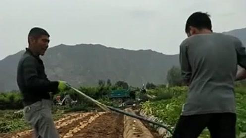 师傅用人工挖土豆太费劲,现在都是用机器,还节约成本!