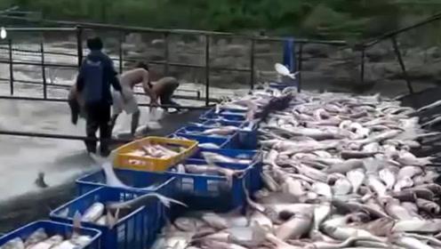 把铁网架到河流上,拦住整条河流,大鱼随便捡