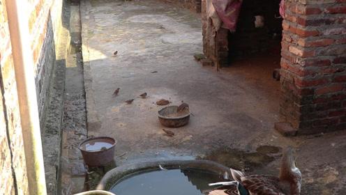鸭子的食物,常被这班小贼光顾,有一种还是保护动物,我该怎么办