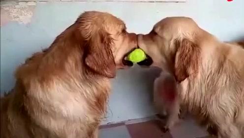 两只猛犬争夺网球 双方难解难分 直到第三只狗狗出现!