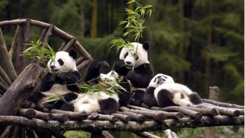 熊猫咬完人后,为啥会默默的绝食,愧疚吗?饲养员说出了心酸实情