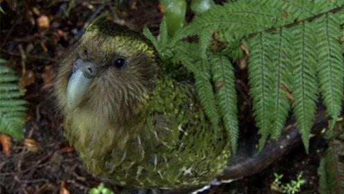 最蠢萌的鸟,遇到危险只会站着不动,如今仅剩154只!