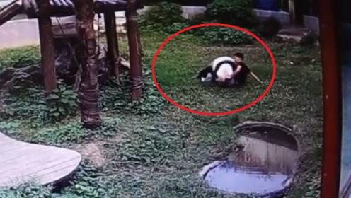 男子翻进熊猫园偷摸熊猫,不料熊猫死活不让走,熊猫:摸了还想走